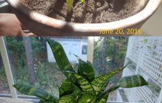 Basil Plant Home Depot Best Of Sansevieria Leaf From Floor Of Home Depot 18 Months Later