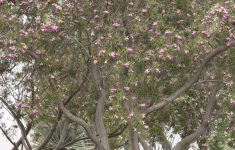 Desert Willow Tree Facts New Timeless Beauty Desert Willow Monrovia Timeless Beauty
