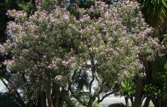 Desert Willow Tree Facts Unique Bees And Trees The Bee Gardener Anr Blogs