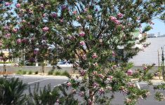 Desert Willow Tree Pictures Best Of Chilopsis L 'burgundy""