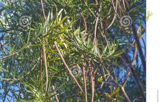 Desert Willow Tree Pictures New Desert Willow Fruits Stock Photo Image Of Nature Willow