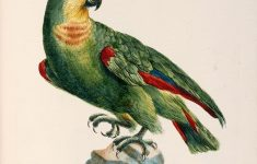 "Parrots Furniture Florence Sc Elegant Saverio Manetti ""blue Fronted Amazon Parrot"" Natural History Of Birds 1767 1776 — Giclee Fine Art Print"