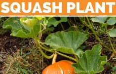 Squash Plant Pictures Awesome Growing Squash Plant A Generous Fruit For The Whole Family