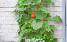 Squash Plant Pictures New Growing Red Kuri Vertically Wall Trellis Advantages