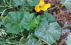 Acorn Squash Growing Stages Beautiful The Plete Guide To Growing Winter Squash