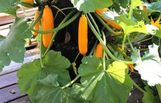 Acorn Squash Plant Spacing Fresh How To Grow Squash And Zucchini Vertically