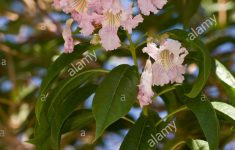Desert Willow Tree For Sale Albuquerque Elegant Desert Willow Chilopsis Linearis In Flower Utah Usa