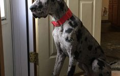 Great Dane Dog House Plans Lovely My 6 Month Old Great Dane Bruce Aww
