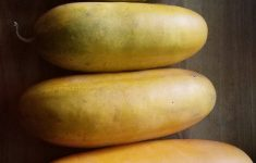 Spaghetti Squash Growing Stages New I Think My Cucumbers Cross Bread With My Spaghetti Squash