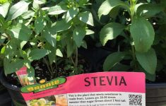 """Basil Plant Home Depot Fresh Chinook Olive On Twitter """"shocked To Find A Stevia Plant"""
