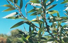 Desert Willow Tree Facts Luxury Pen In Hand Willows An Essential Tree For Animals And