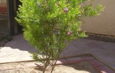 Desert Willow Tree Pictures Awesome Trees Matter Shade Tree Types Desert Willow