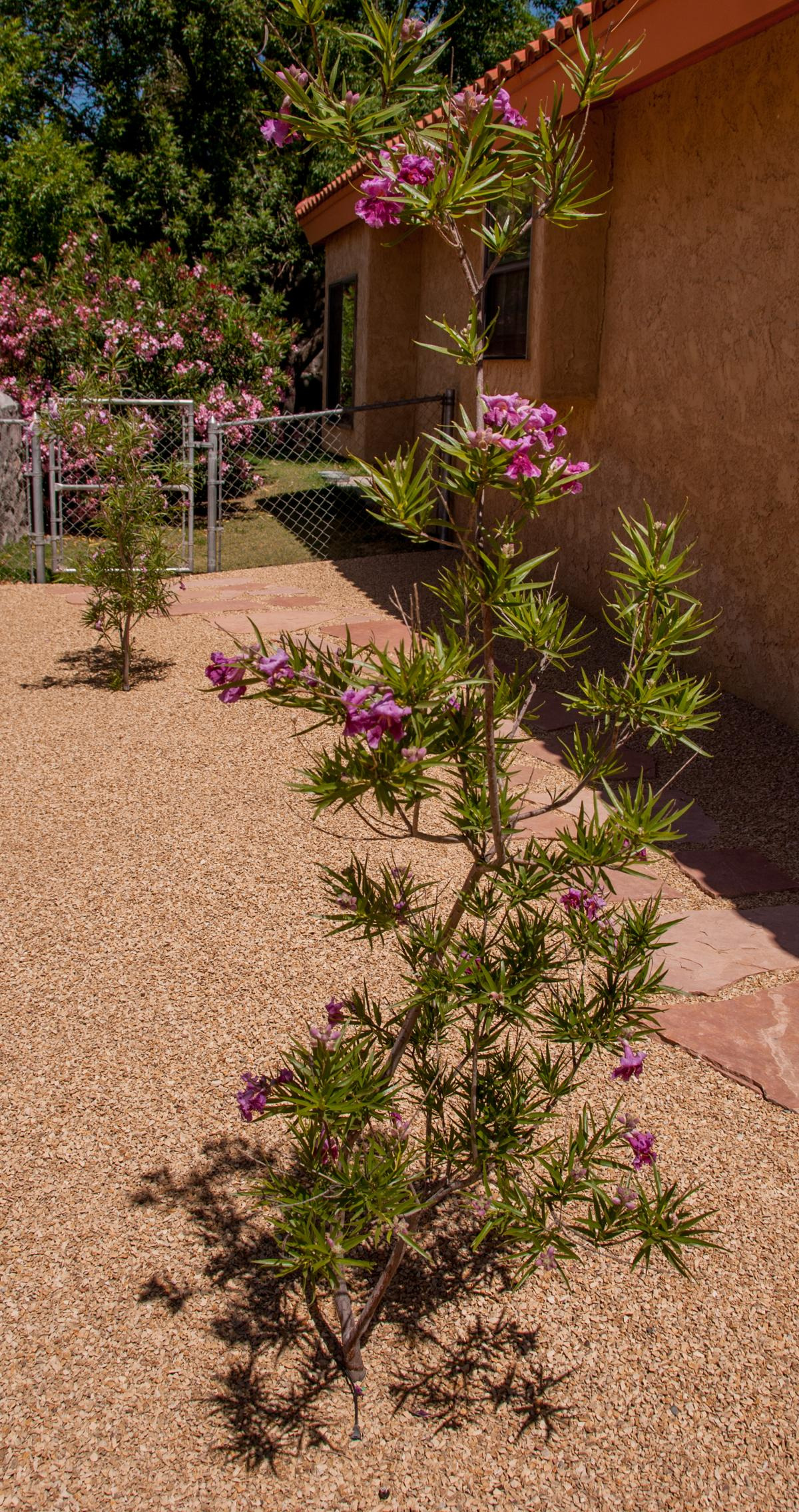 Desert Willow Tree Pictures Elegant This is How You Need to Care for A Desert Willow Tree