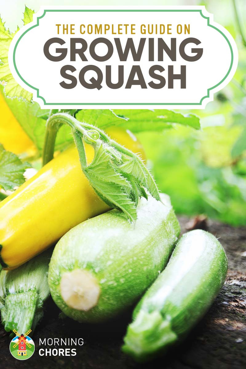 Growing Squash The plete Guide to Plant Grow Harvest Squash