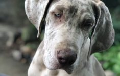 Great Dane Dog House Plans Best Of Polly Lilac Merle Great Dane Owned By Locus Danes